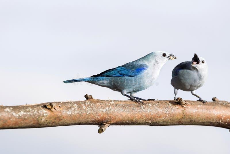 美丽的鸟,共同的瓦片- Thraupis episcopus 天空 免版税库存照片