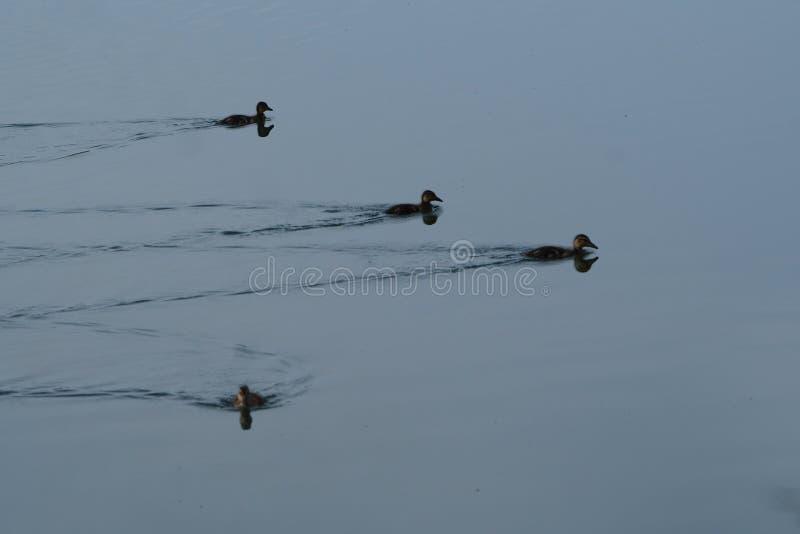 美丽的鸭子助长变得独立与他们的母亲,lerida 免版税库存照片
