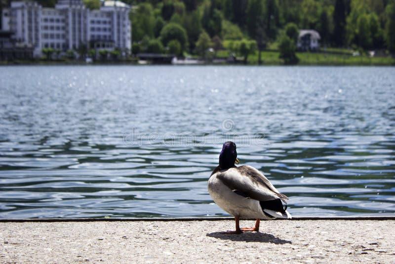 美丽的鸭子在流血的湖,斯洛文尼亚游泳 水色鸟走沿海在湖和山的背景 库存图片