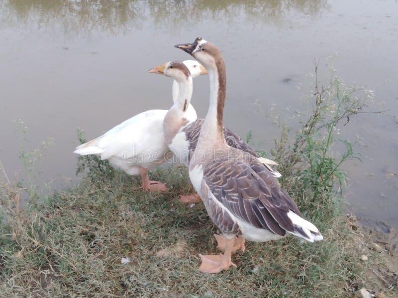 美丽的鸭子 免版税库存照片
