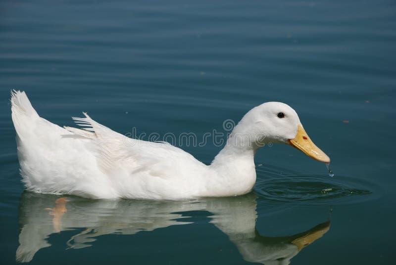 美丽的鹅在池塘游泳 免版税库存照片