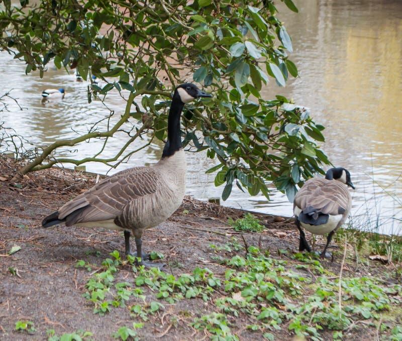 美丽的鹅,雄鸭,站立在地面上在池塘附近 免版税库存照片