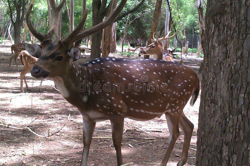 美丽的鹿印地安人 免版税库存照片