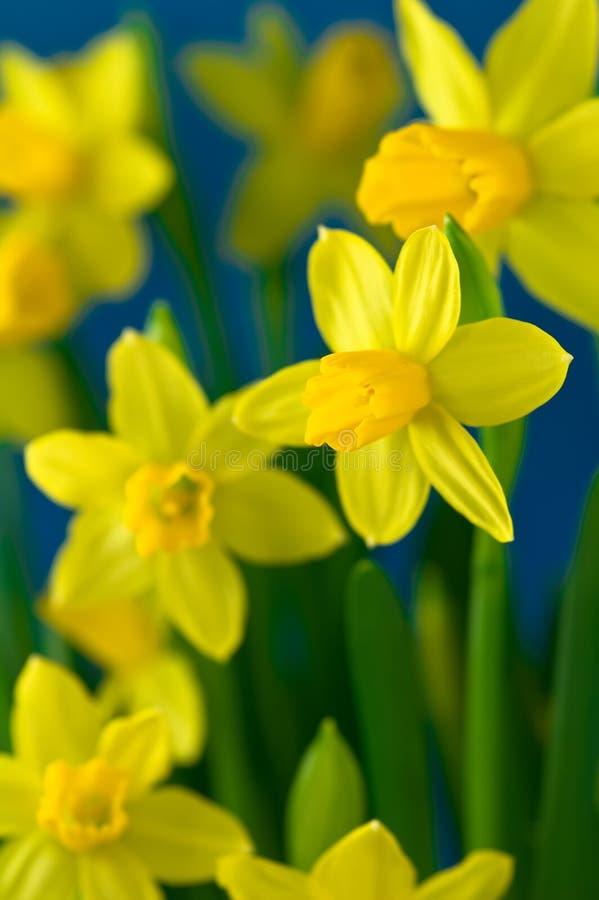 美丽的黄水仙 免版税库存图片