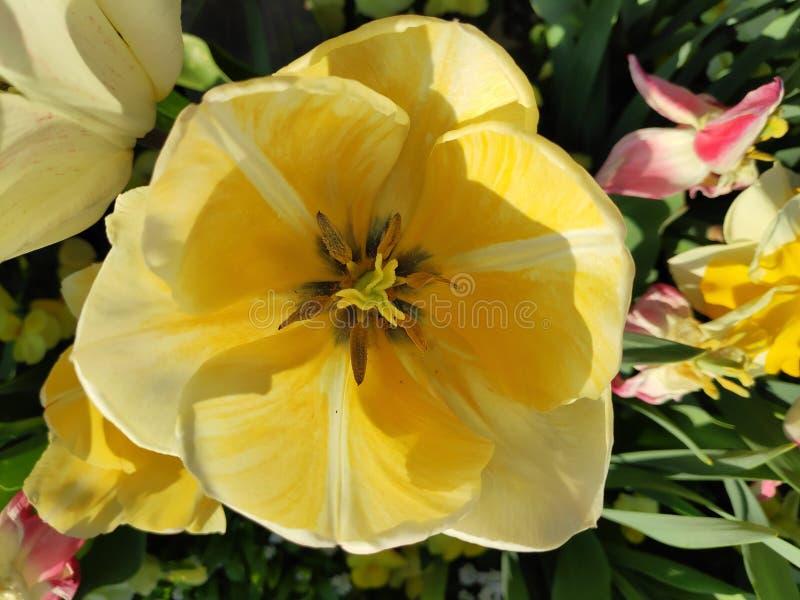 美丽的黄白郁金香 图库摄影