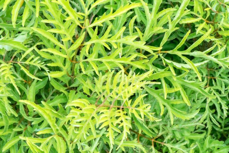 美丽的黄色万寿菊在庭院里 免版税库存图片
