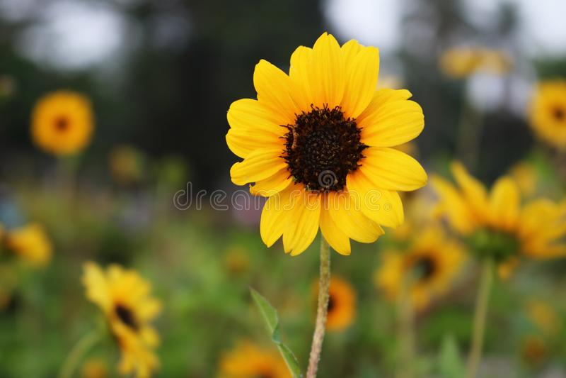 美丽的黄色向日葵在孟加拉国 这个图象由我夺取了从Rangpur Jamidar巴里花园 免版税库存照片