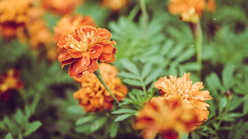 美丽的黄色和橙色万寿菊在Th的庭院里开花 库存图片