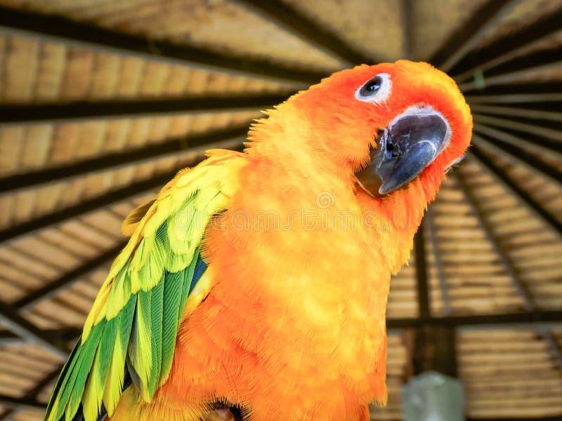 美丽的黄色和橙色太阳conure鹦鹉鸟 库存图片
