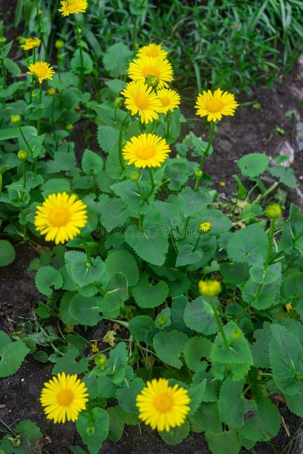 美丽的黄色四季不断的雏菊在一张花床上的早期的春天在庭院里 免版税库存图片