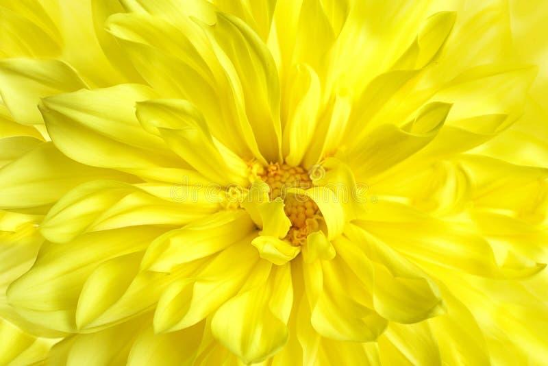 美丽的黄色大丽花花,特写镜头视图 免版税库存照片