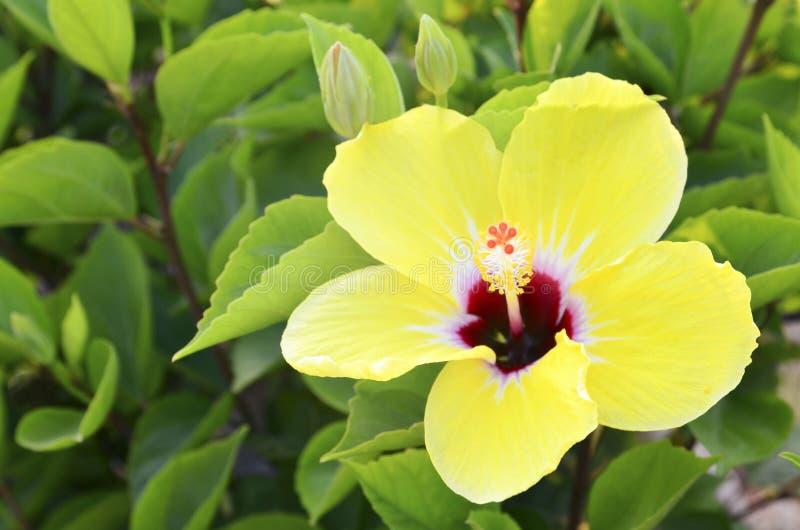 美丽的黄色木槿花中国在特内里费岛上升了, Gudhal, Chaba,鞋子花,加那利群岛,西班牙庭院里  免版税图库摄影