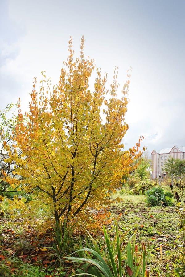 美丽的黄色树 秋天 免版税库存照片