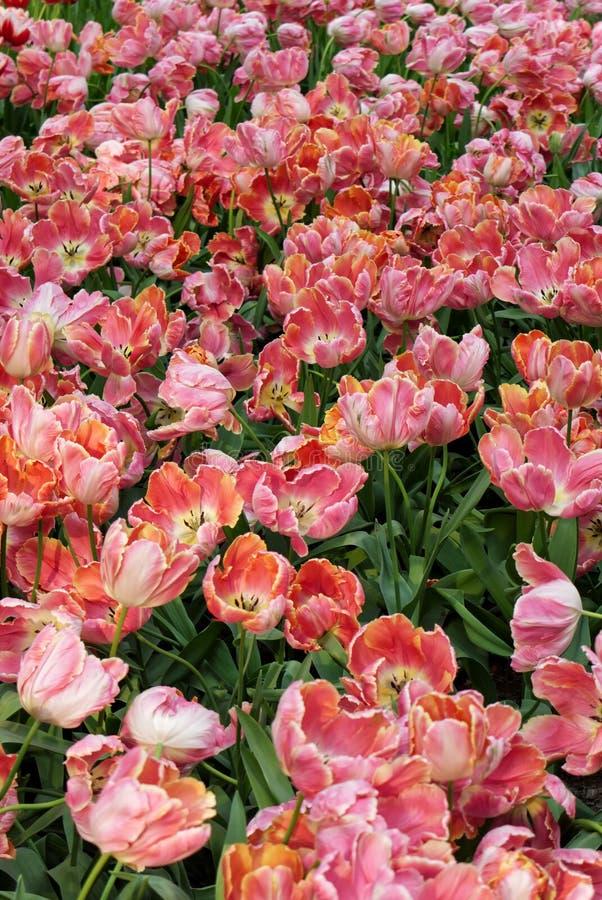 美丽的黄色桃红色蓬松郁金香特写镜头在花床上 库存图片