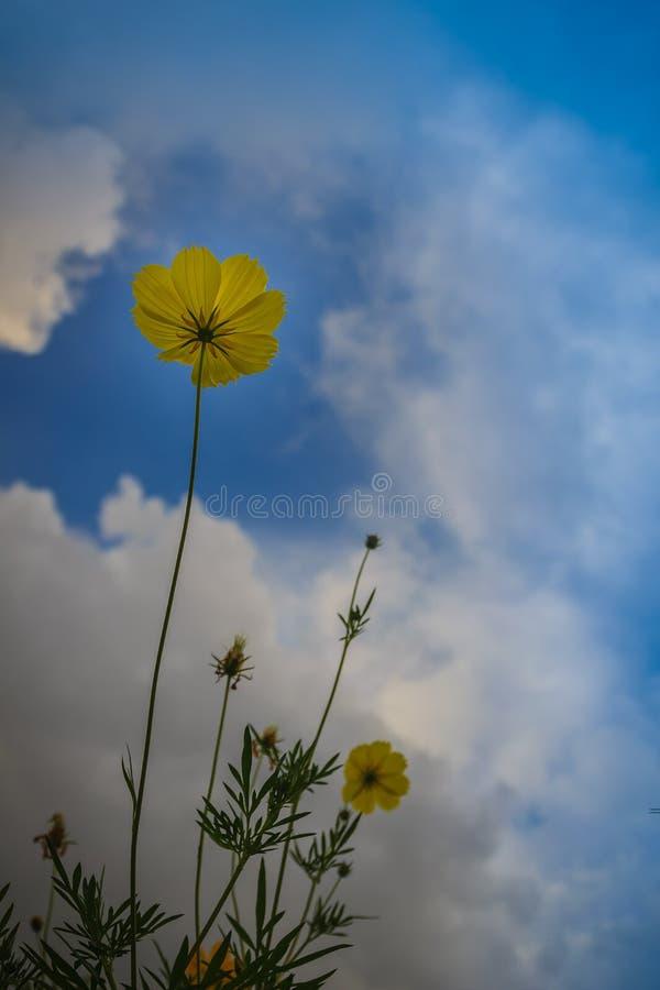 美丽的黄色波斯菊花(波斯菊sulphureus)在草甸领域 亦称波斯菊sulphureus是硫磺波斯菊和yello 库存照片
