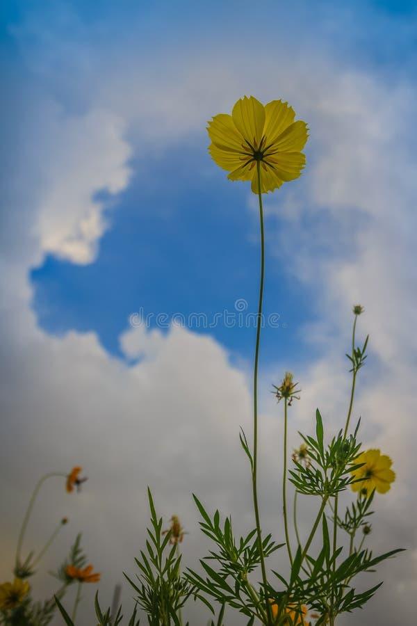 美丽的黄色波斯菊花(波斯菊sulphureus)在草甸领域 亦称波斯菊sulphureus是硫磺波斯菊和yello 免版税库存照片