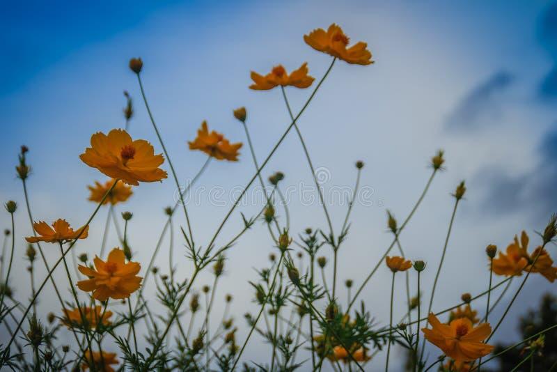 美丽的黄色波斯菊花(波斯菊sulphureus)在草甸领域 亦称波斯菊sulphureus是硫磺波斯菊和yello 库存图片