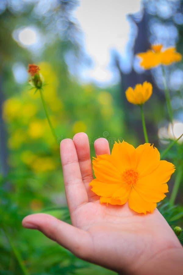 美丽的黄色波斯菊花(波斯菊sulphureus)在草甸领域 亦称波斯菊sulphureus是硫磺波斯菊和yello 免版税库存图片