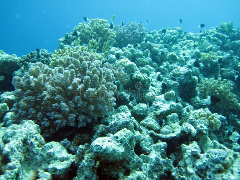 美丽的黄色海洋生物,埃及 免版税库存照片