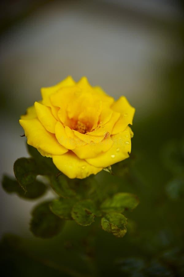 美丽的黄色玫瑰丛黄色玫瑰 库存图片
