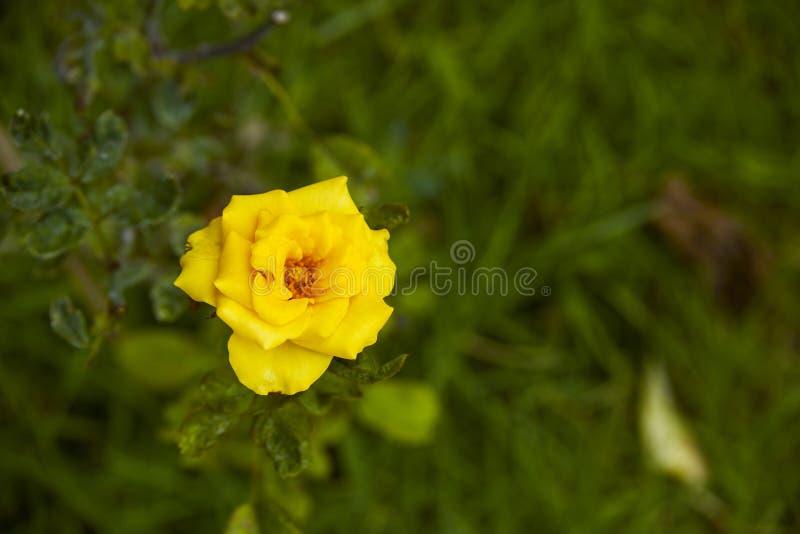美丽的黄色玫瑰丛黄色玫瑰 免版税库存图片