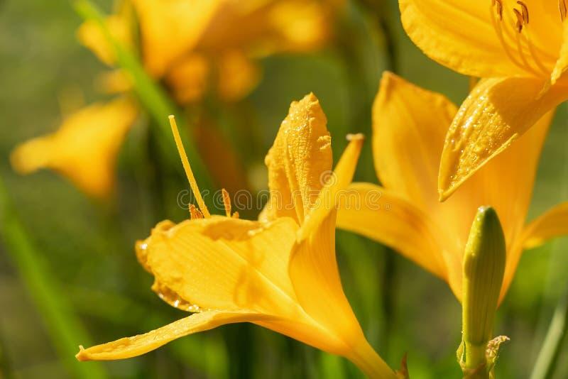 美丽的黄色百合萱草属植物开花宏观照片在平衡夏天庭院日落光的在雨下的 免版税库存照片