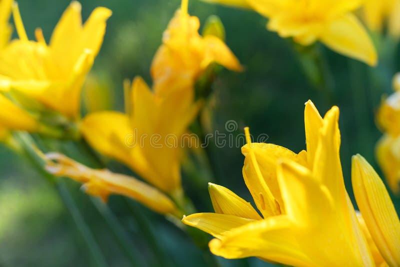 美丽的黄色百合萱草属植物开花宏观照片在平衡夏天庭院日落光的  免版税图库摄影