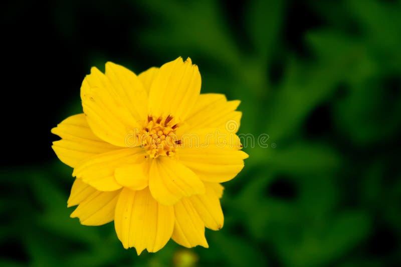 美丽的黄色花与有漂浮在雨和绿色叶子背景黄色花和绿色叶子自然以后的小滴 图库摄影