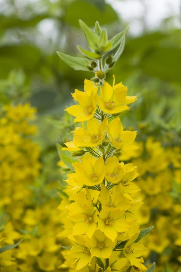 美丽的黄色花在夏天庭院里 水平地 图库摄影