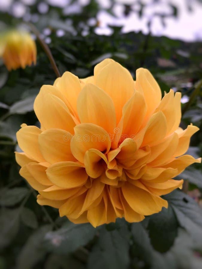 美丽的黄色花在金马仑高原,马来西亚 免版税图库摄影