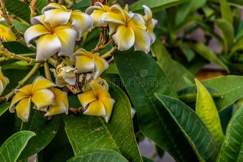 美丽的黄色花开花背景 免版税库存照片