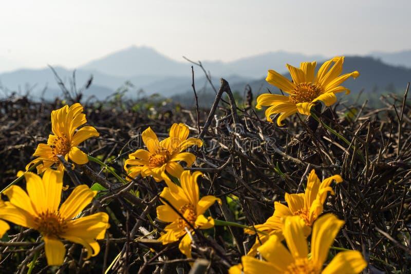 美丽的黄色花有山lanscapes背景 免版税库存照片