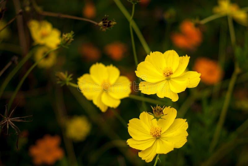 美丽的黄色花有模糊的背景 图库摄影