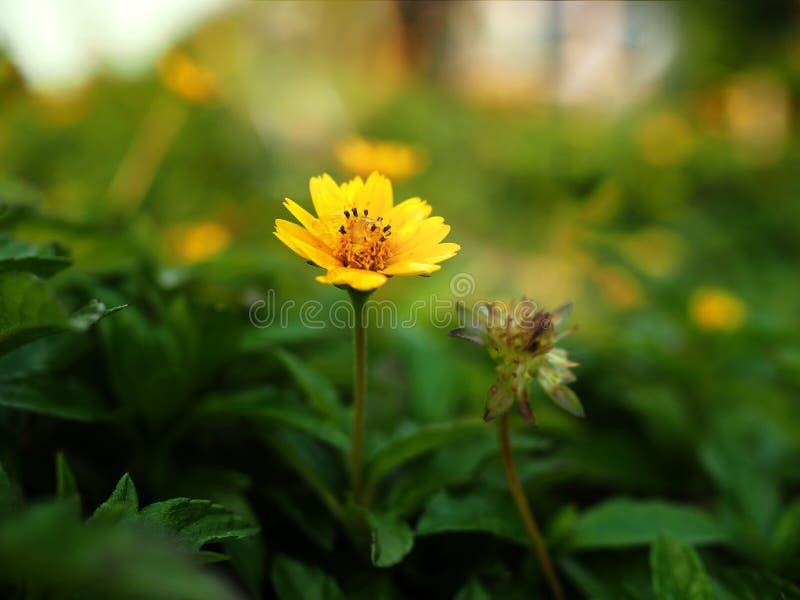 美丽的黄色花特写镜头与阳光反射的在背景中 免版税库存图片