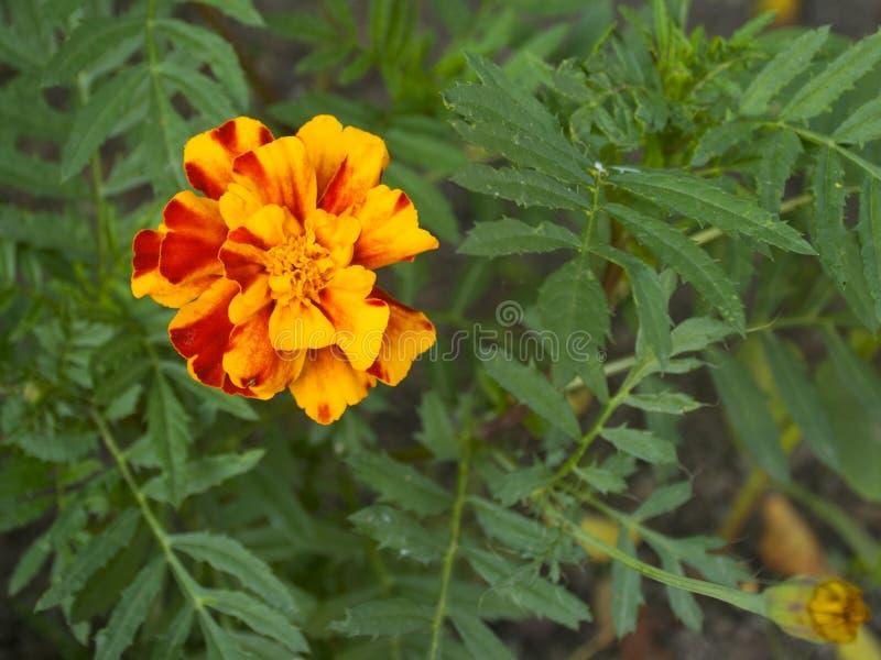 美丽的黄色花 万寿菊 庭院的花 免版税库存图片