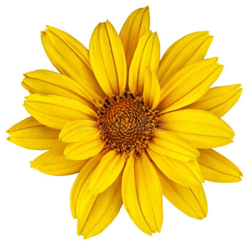 美丽的黄色雏菊 拉丁名字是葵花 在白色的被隔绝的图象 库存图片