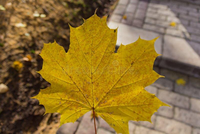 美丽的黄色mapple叶子在公园 免版税图库摄影