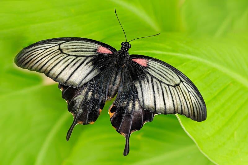 美丽的黑暗的蝴蝶、Papilio rumanzovia,猩红色摩门教或红色摩门教徒,Papilionidae家庭 美丽的蝴蝶 免版税库存图片