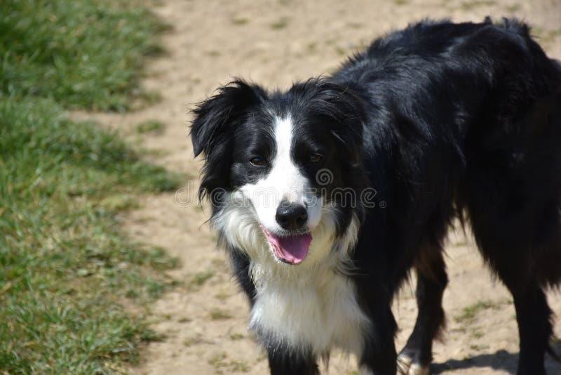 美丽的黑白博德牧羊犬狗在春天 图库摄影