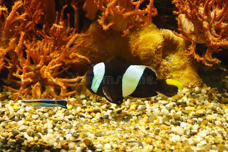 美丽的黑白的Ocellaris clownfish双锯鱼ocellaris,亦称小丑银莲花属在珊瑚礁中 库存照片