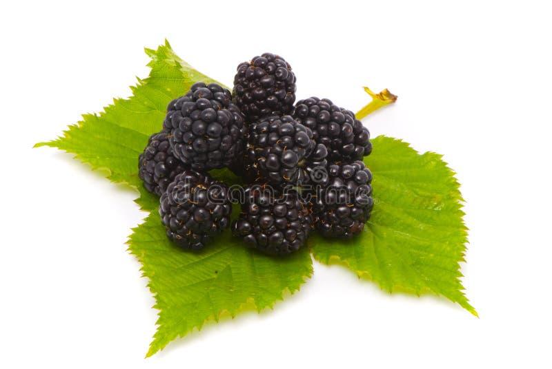美丽的黑莓宏指令射击 库存图片