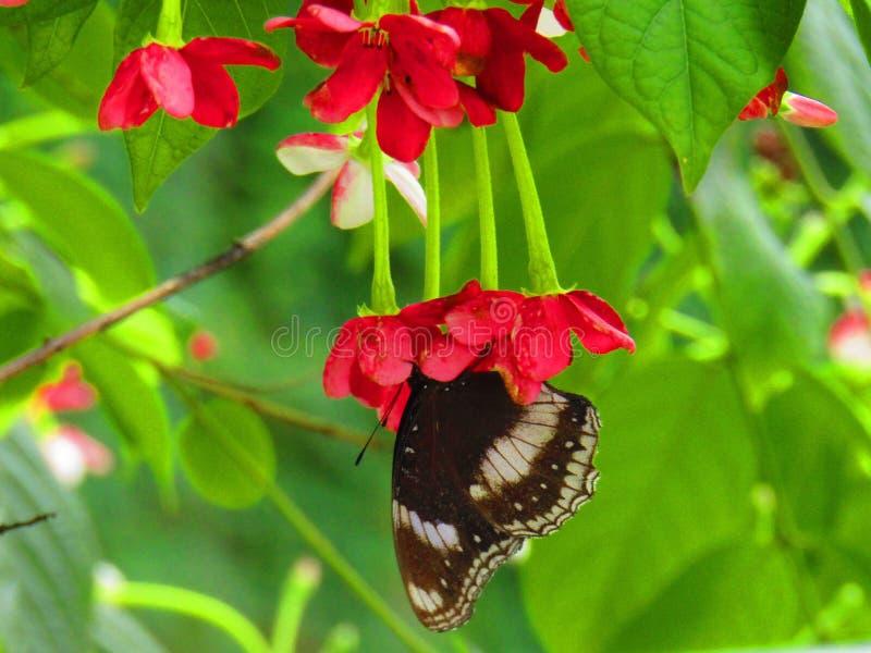 美丽的黑蝴蝶或黑人蝴蝶Papilio polytes romulus或印度共同的摩门教徒,Papilionidae家庭 免版税库存图片