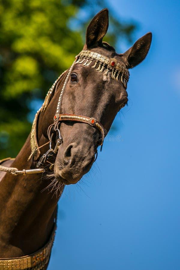 美丽的黑褐色akhal teke马接近的画象  库存图片