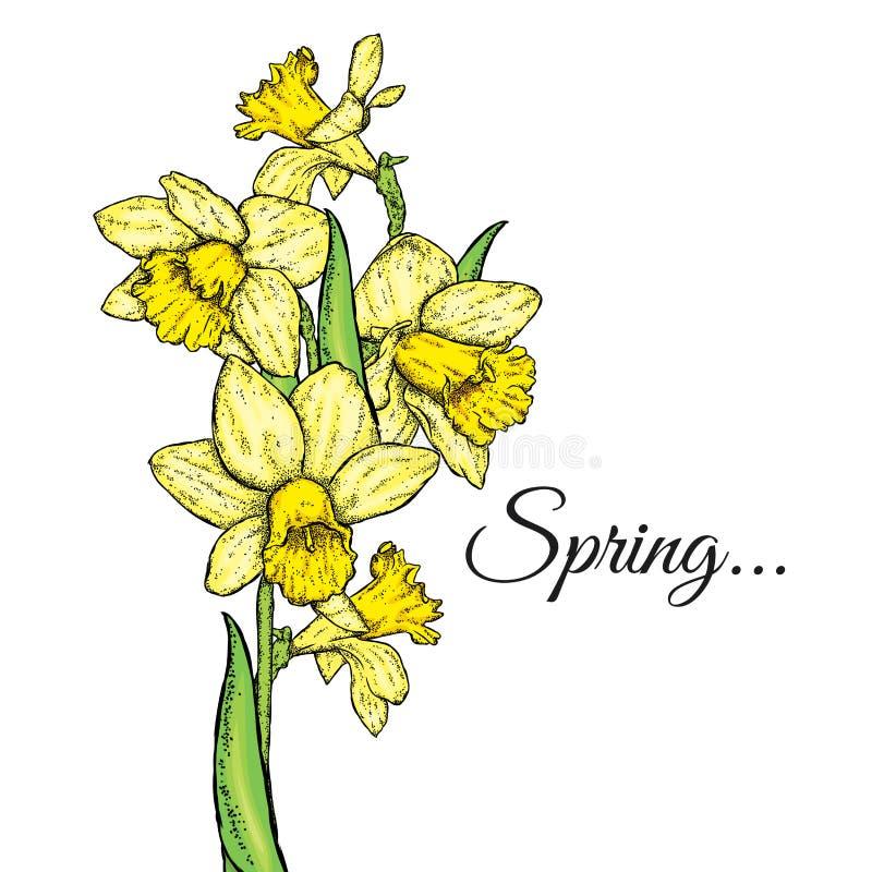 美丽的黄水仙 也corel凹道例证向量 花束开花弹簧 向量例证