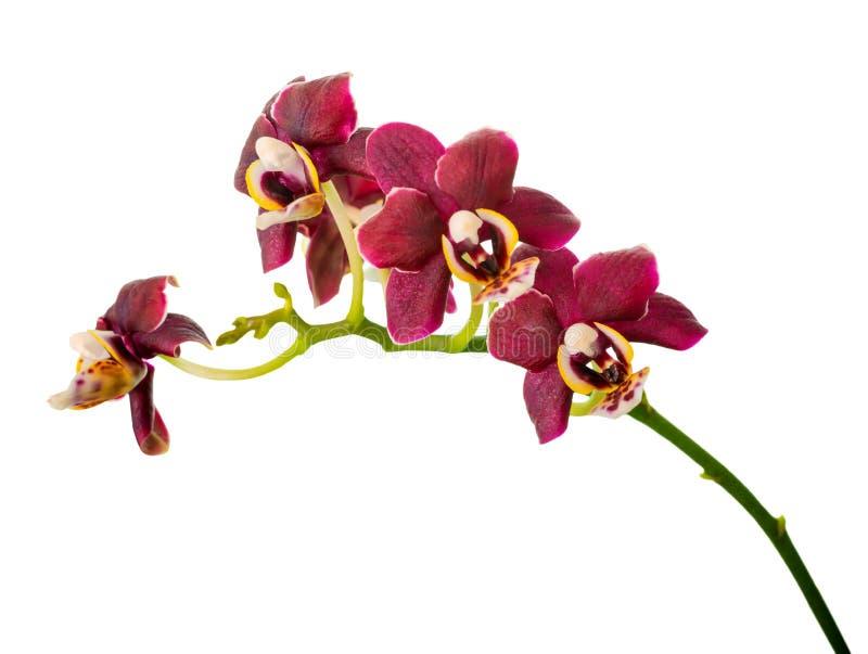 美丽的黑暗的紫色兰花,兰花植物的开花的枝杈是 免版税库存照片