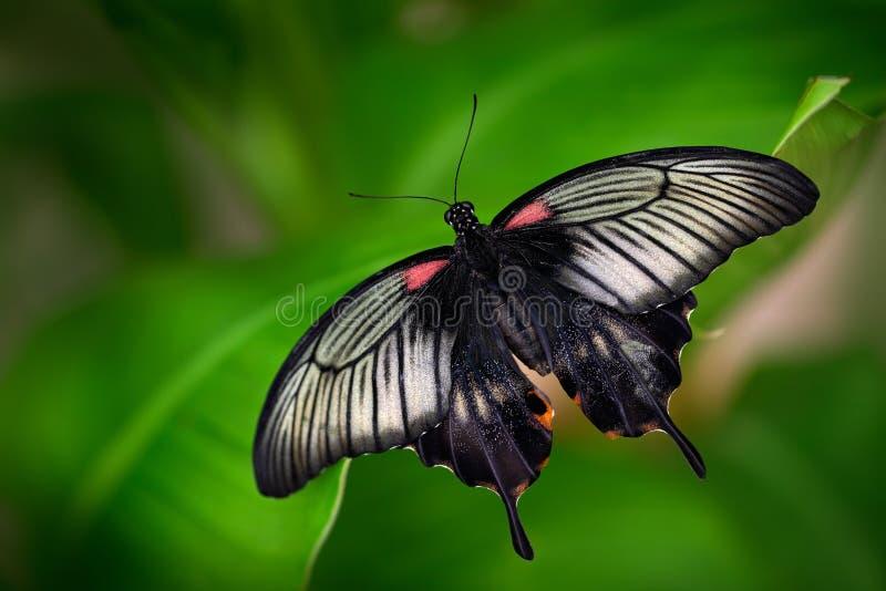 美丽的黑暗的蝴蝶、Papilio rumanzovia、猩红色摩门教徒或者红色摩门教徒, Papilionidae家庭 在Philipp被找到 免版税库存照片