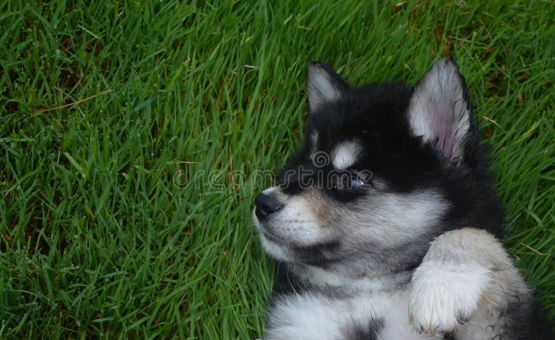 美丽的黑白Alusky小狗 免版税库存照片