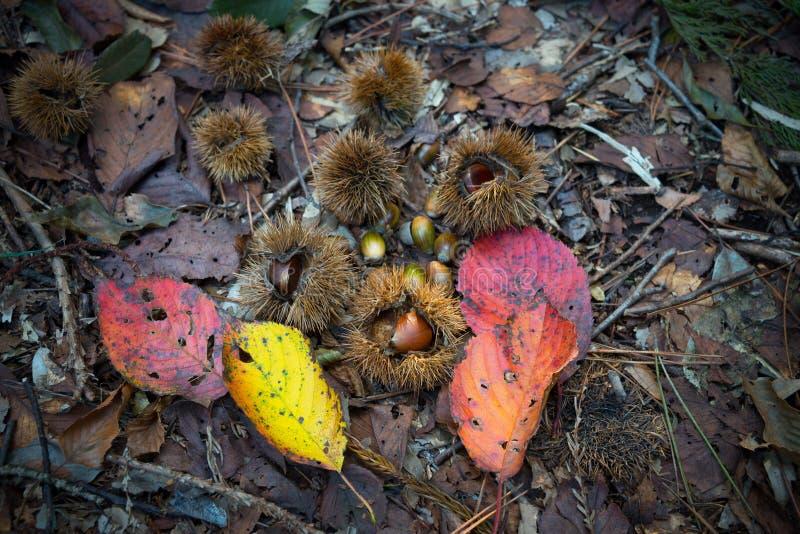 美丽的死的叶子、栗子和橡子 免版税图库摄影