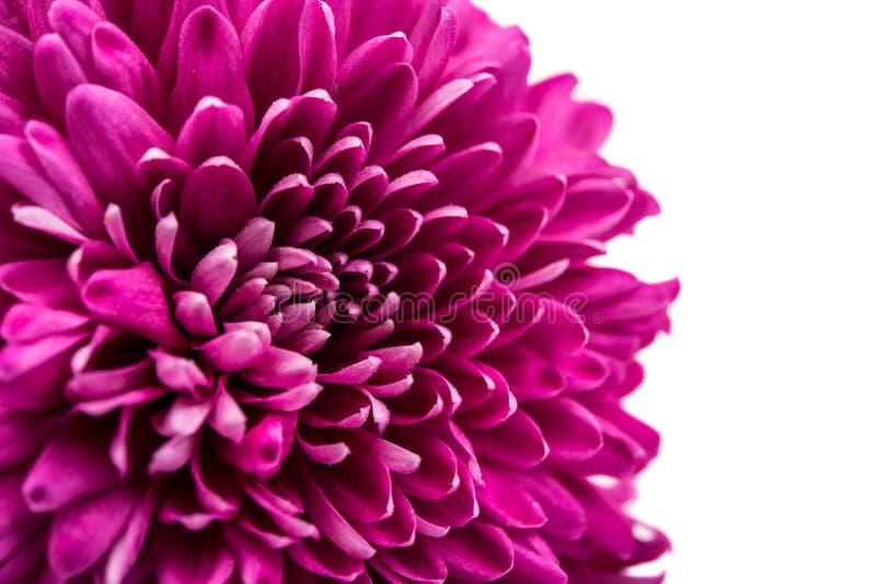 美丽的洋红色菊花 库存照片