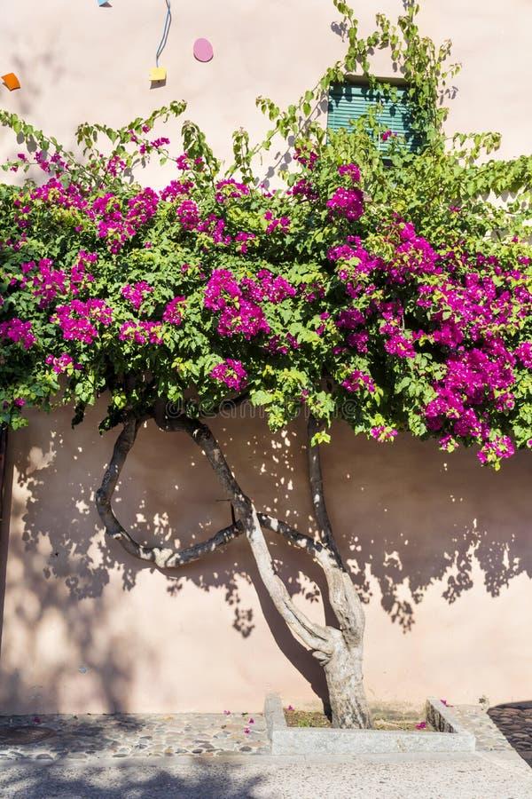 美丽的紫罗兰色九重葛回归线树 库存图片